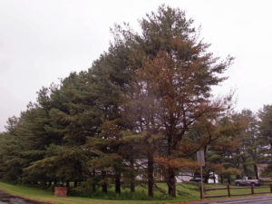 White Pine Damage.